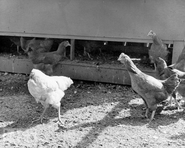Foto de Mike, o frango sem cabeça em um galinheiro com outras galinhas